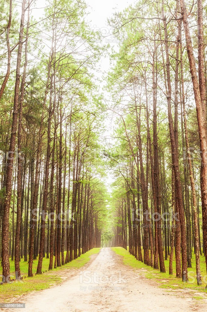 Beautiful nature in the strong pine forest stock photo