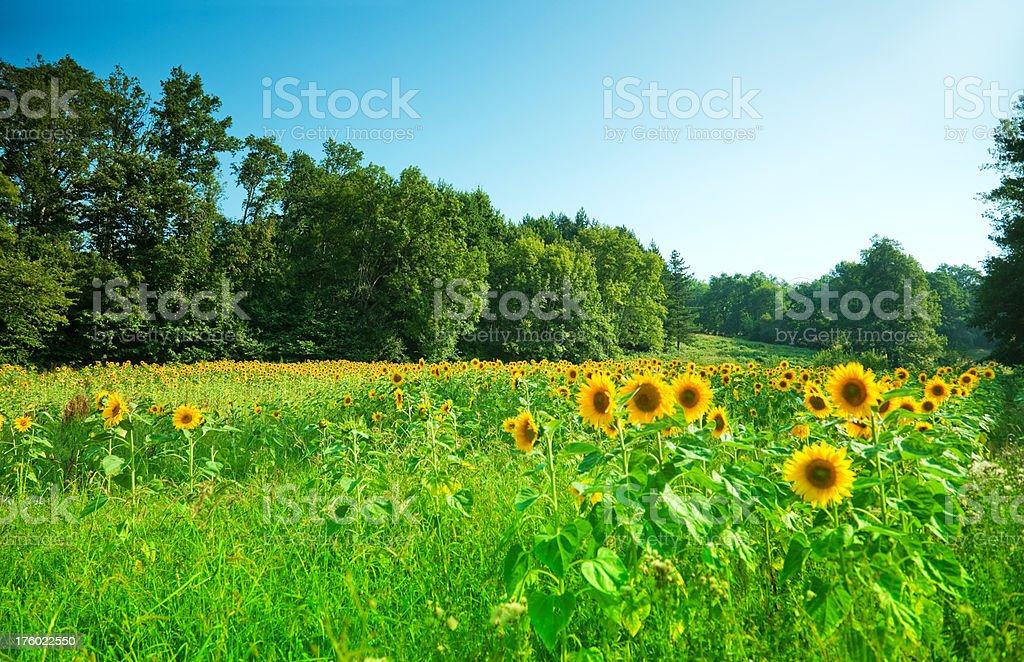 Beautiful Nature with Sunflowers royalty-free stock photo