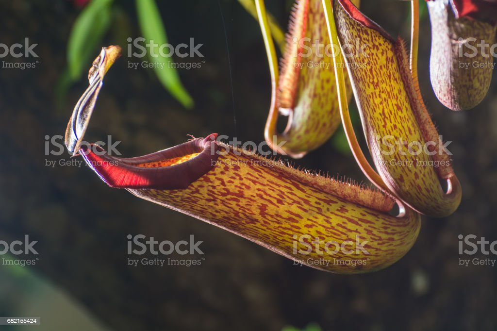 Beautiful Nepenthes stock photo