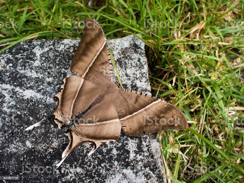 Beautiful night butterfly in a garden, mountain stock photo