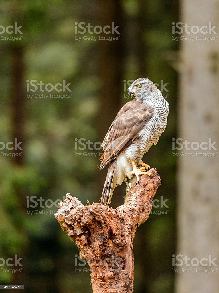 Beautiful Northern Goshawk [Accipiter gentilis] portrait perched stock photo