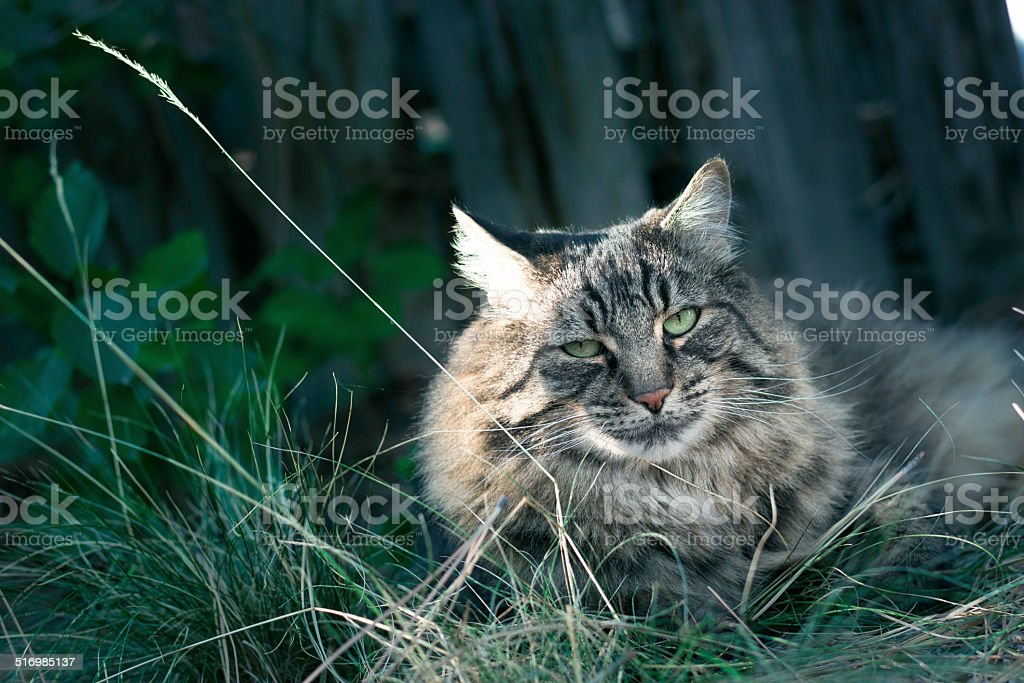 Beautiful norwegian forest cat stock photo