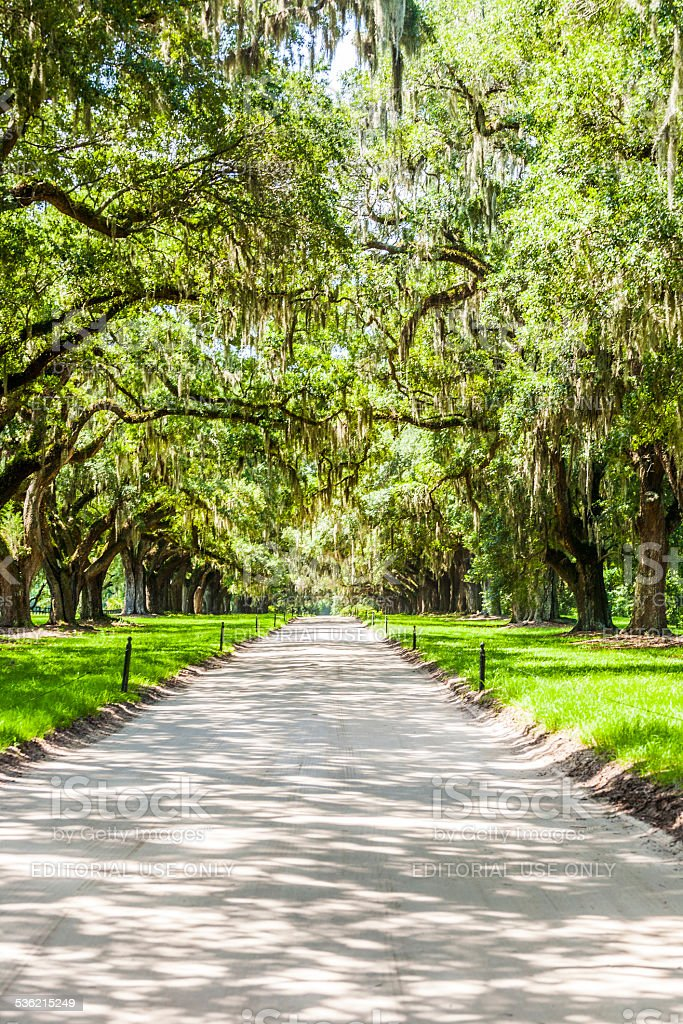 beautiful OAK alley stock photo