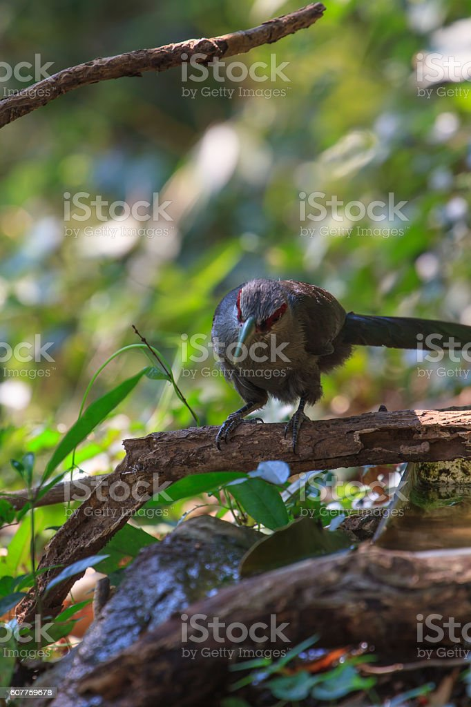 Beautiful of Green billed Malkoha in nature stock photo