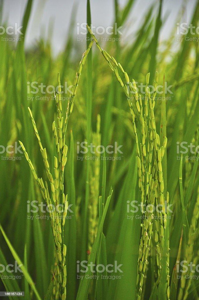 beautiful of green paddy rice royalty-free stock photo