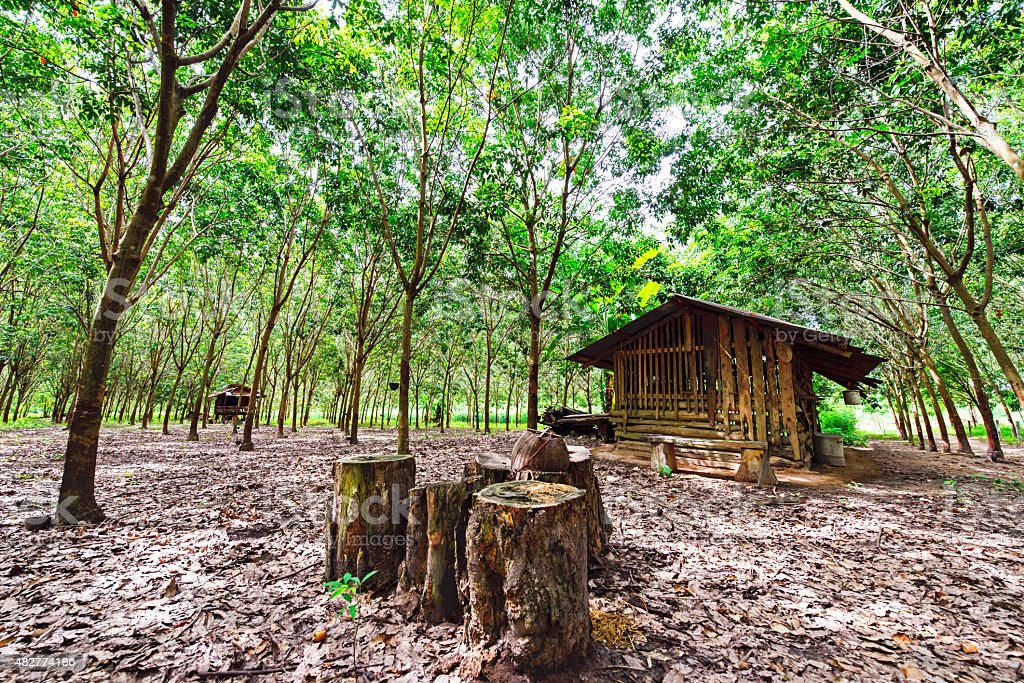 Beautiful of rubber plantation landscape, Northeast, Thailand stock photo