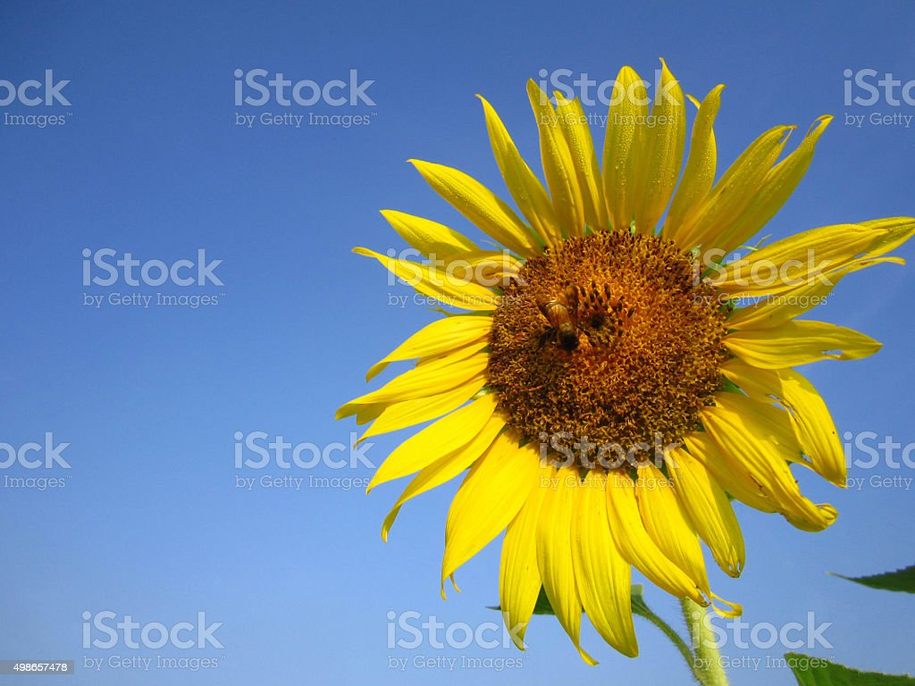 beautiful of sunflower stock photo