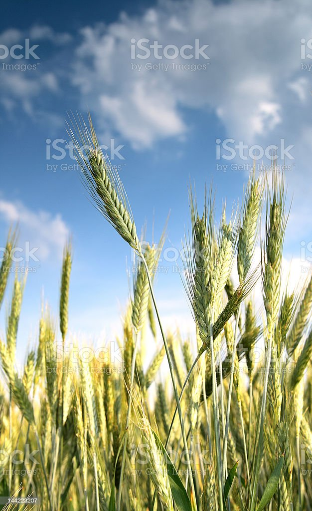 Beautiful of wheat. On a foreground wheats,further blue sky stock photo