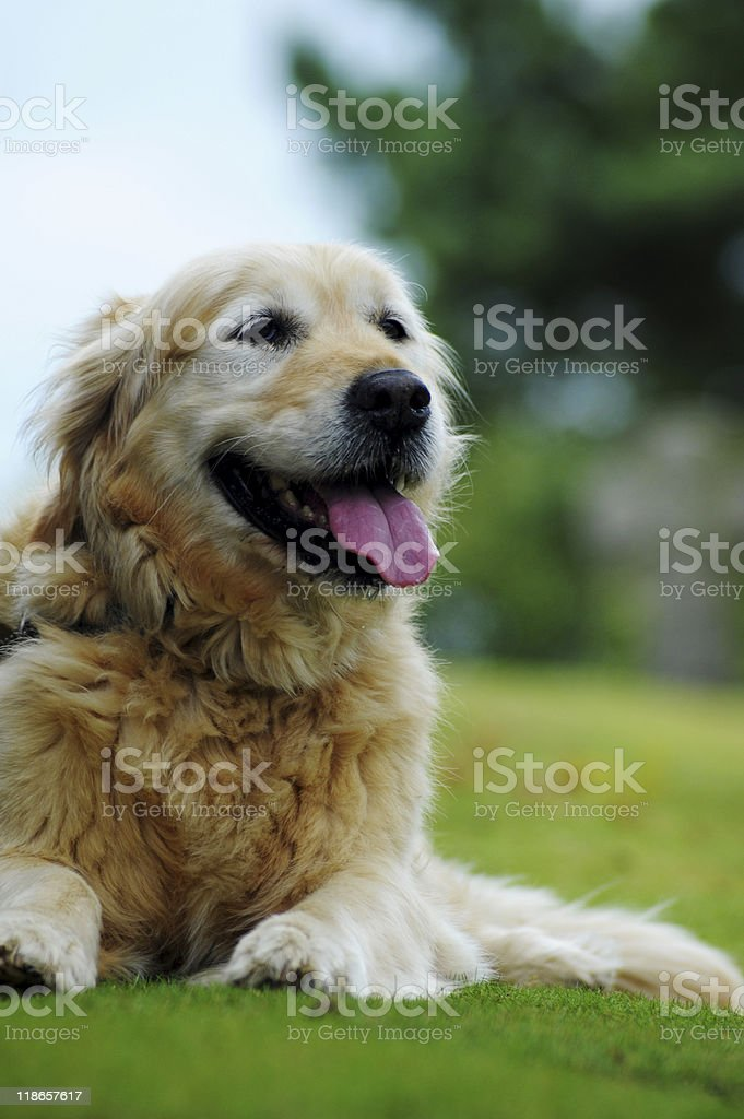 Beautiful Old Golden Retriever stock photo