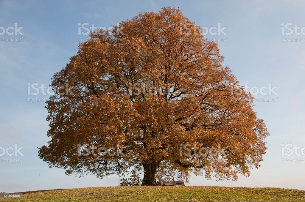 Beautiful old lone linden tree standing hill autumn colors royalty-free stock photo