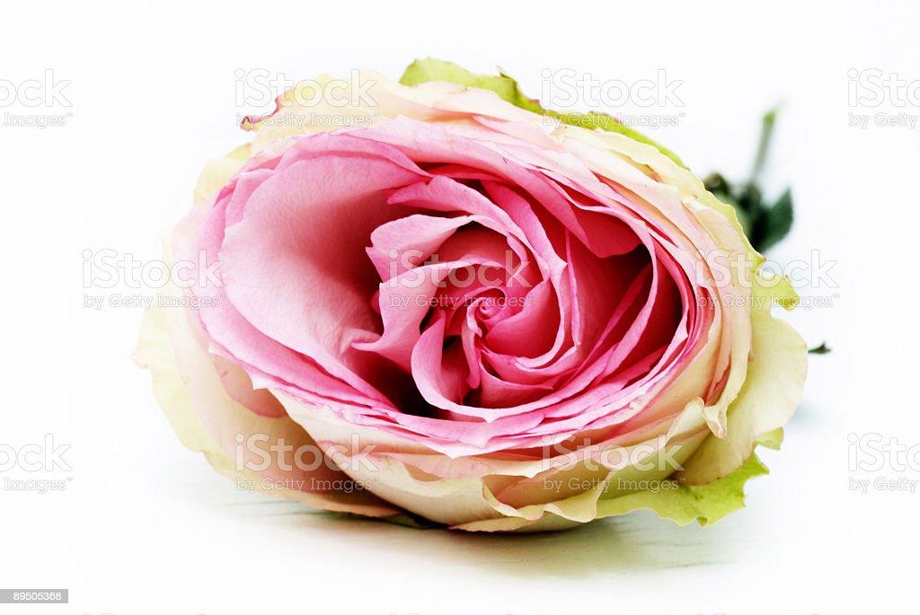 Beautiful Old Rose royalty-free stock photo