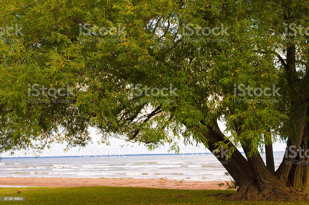 Beautiful old tree on the shore of Lake Huron vector art illustration