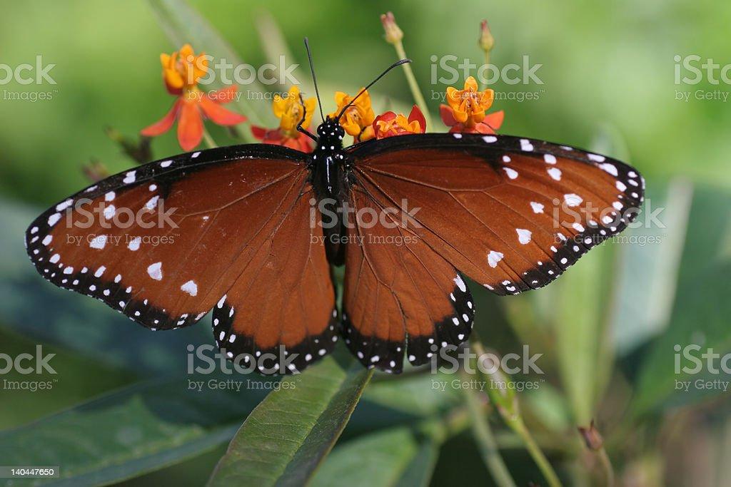 Hermosa mariposa de alas abiertas foto de stock libre de derechos