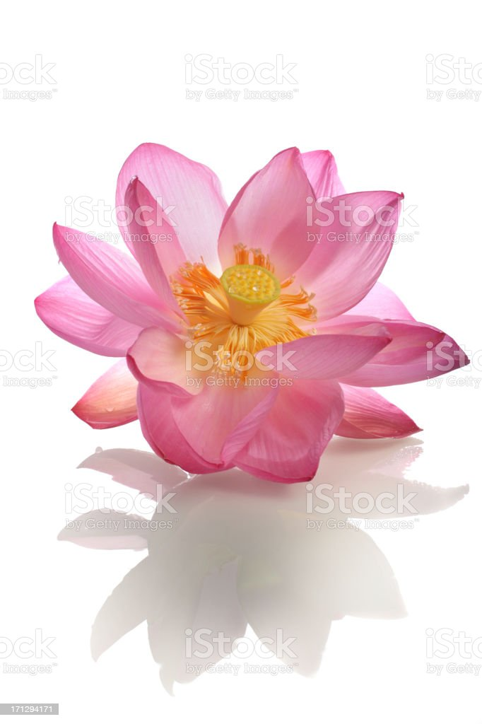 Beautiful opening pink sacred lotus with reflection stock photo