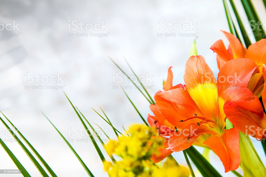 Beautiful orange Alstroemeria ligtu colorful fresh flower with copy space stock photo
