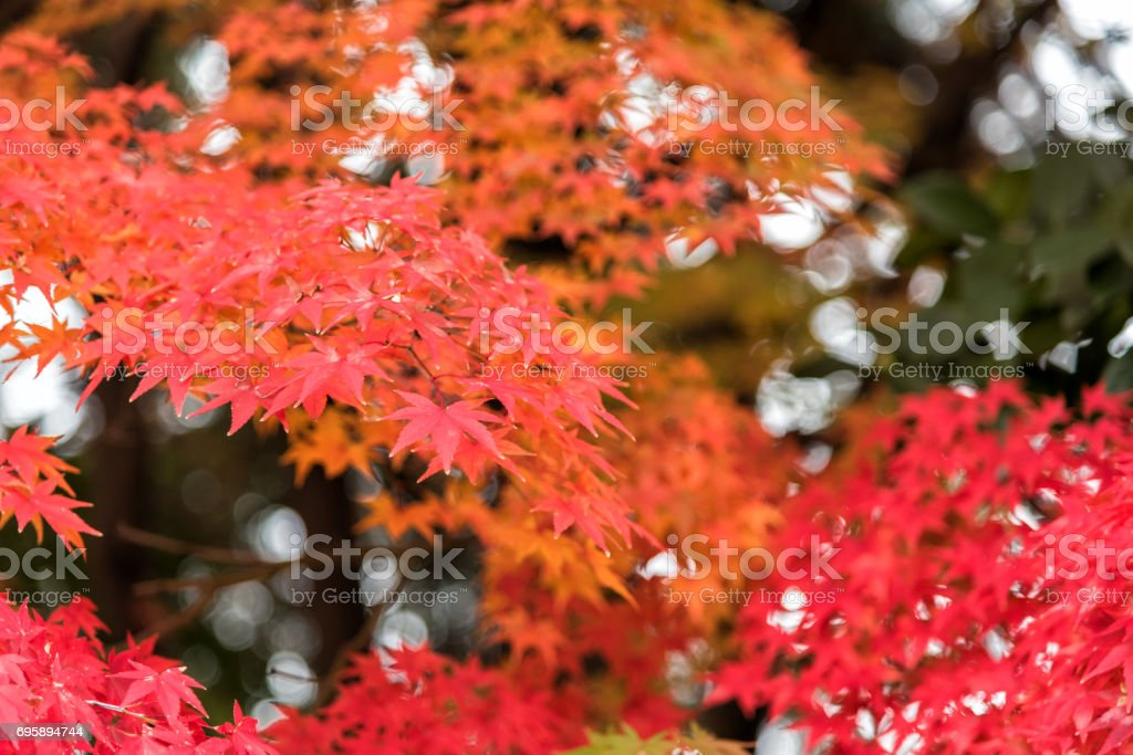 Beautiful orange and red of maple leaves in autumn. stock photo