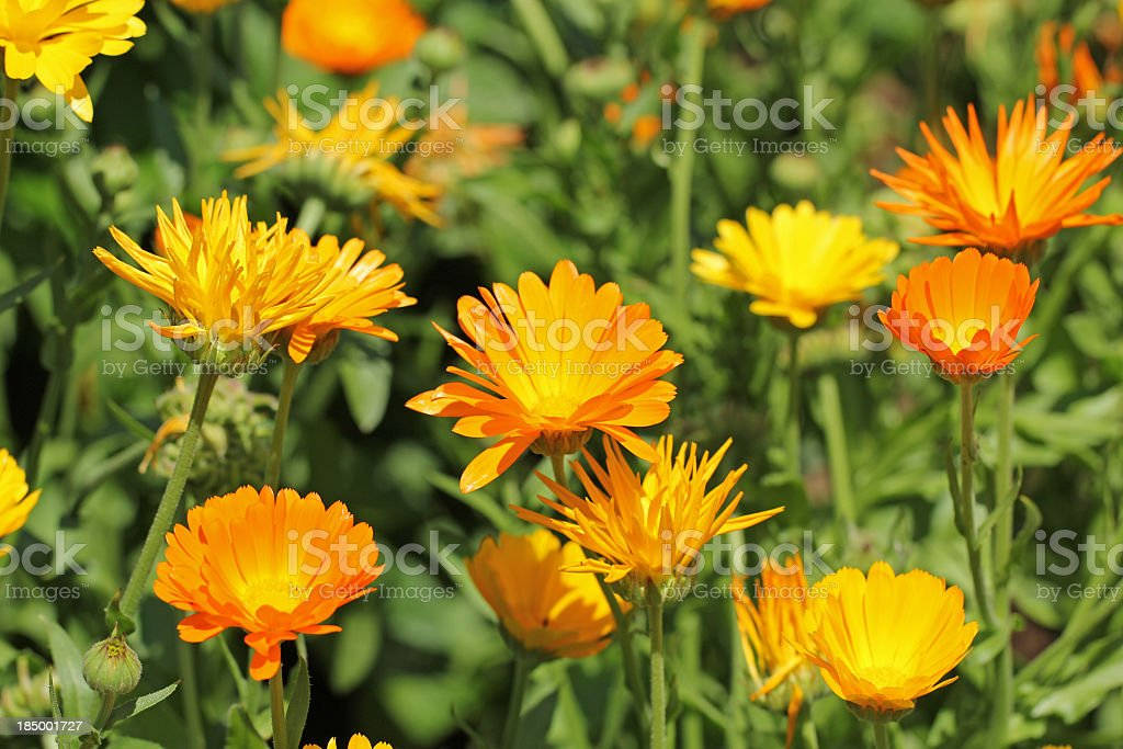 Beautiful orange calendula officinalis on stem stock photo