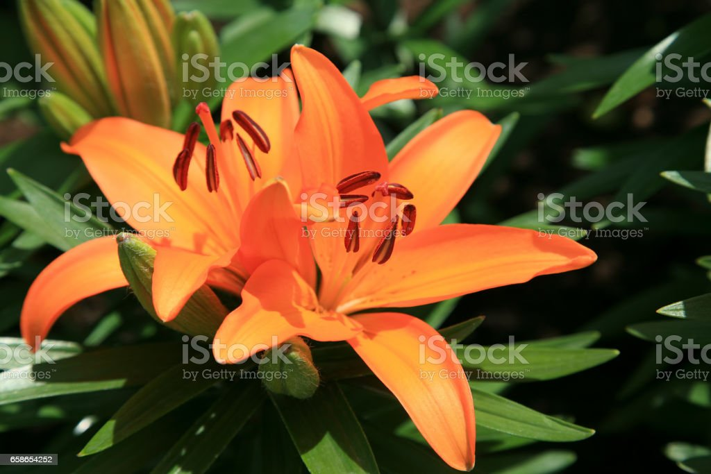 Beautiful orange day lily bloom stock photo