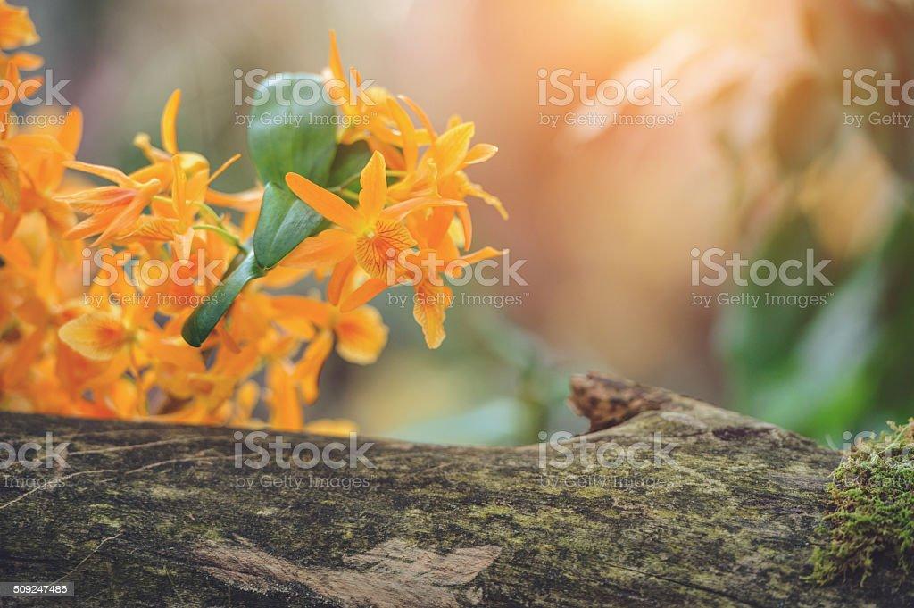 Beautiful orange Dendrobium orchid stock photo