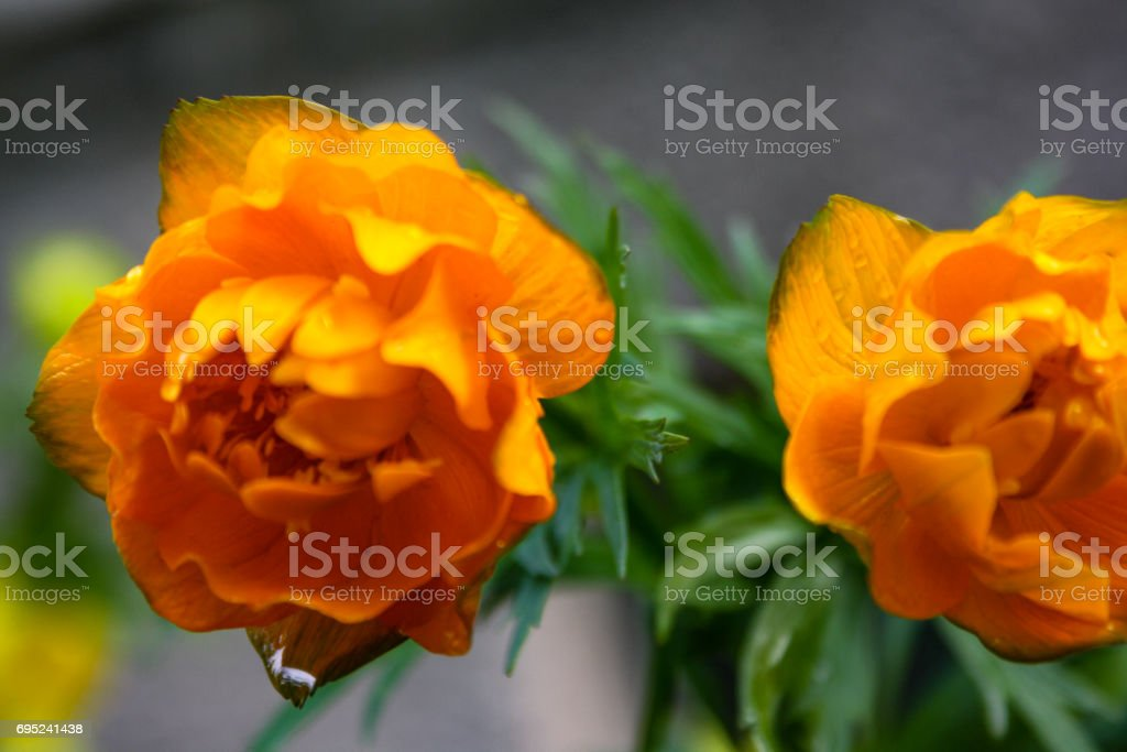 Beautiful orange flowers blooming close-up of a sunny summer day stock photo