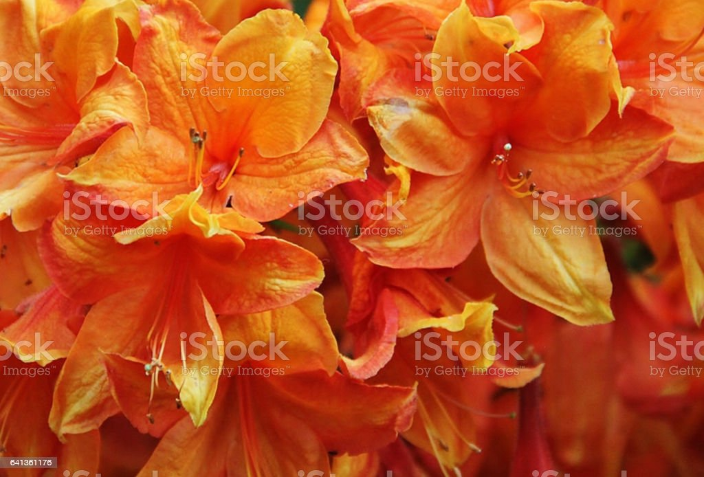 Beautiful orange flowers. stock photo
