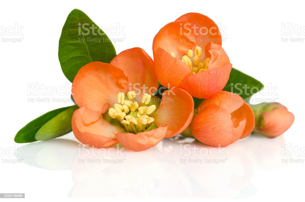 beautiful orange flowers with buds on white background stock photo