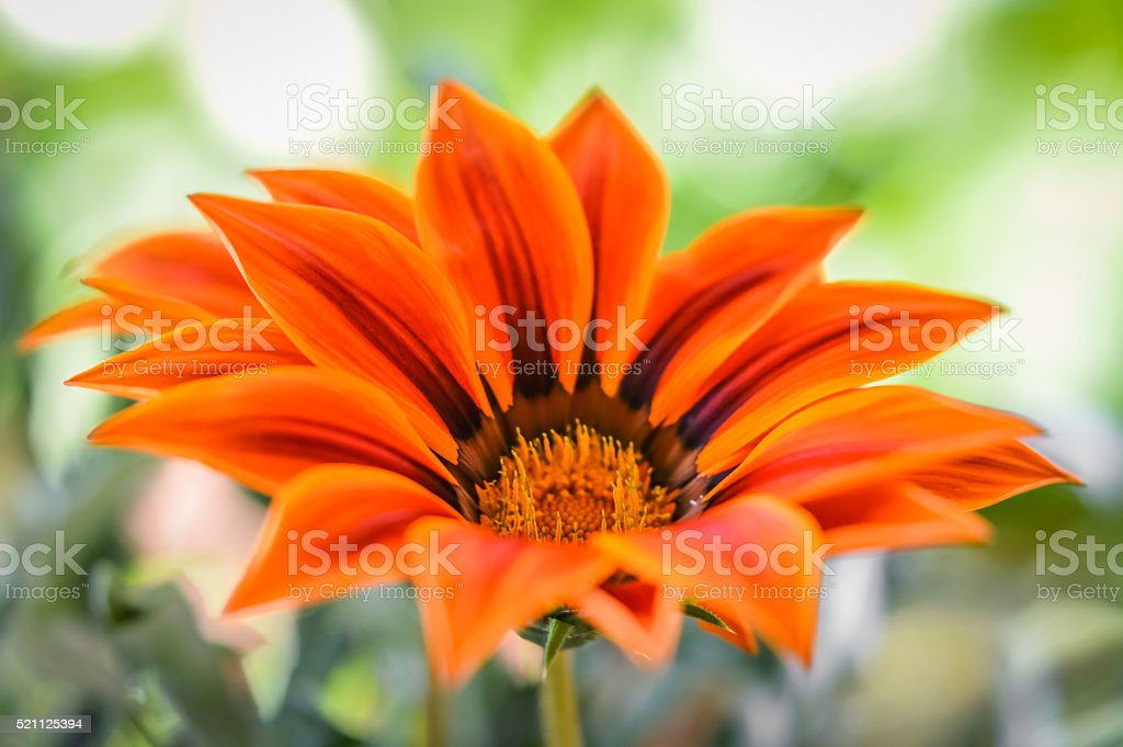 beautiful orange gazania flower close up stock photo