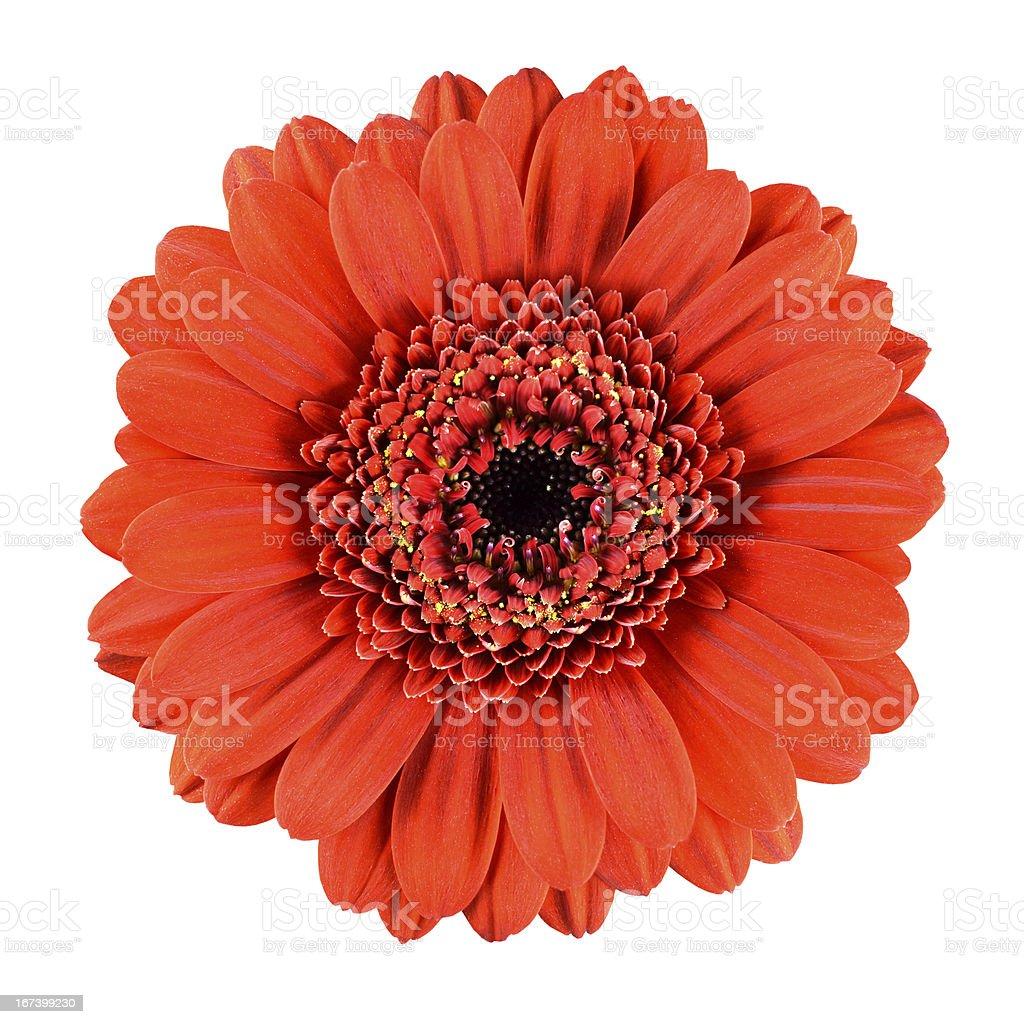 Beautiful Orange Gerbera Flower Isolated on White royalty-free stock photo