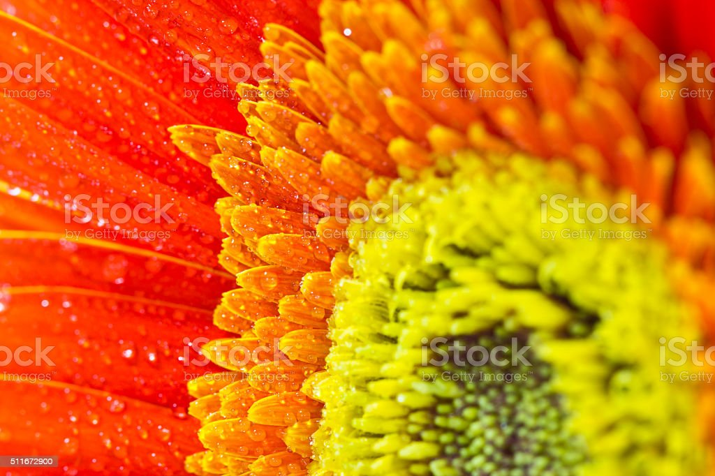 beautiful orange gerbera flower stock photo