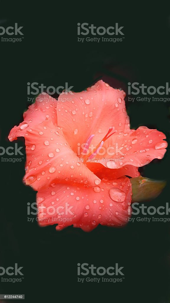 beautiful orange gladiolus flower after rain stock photo