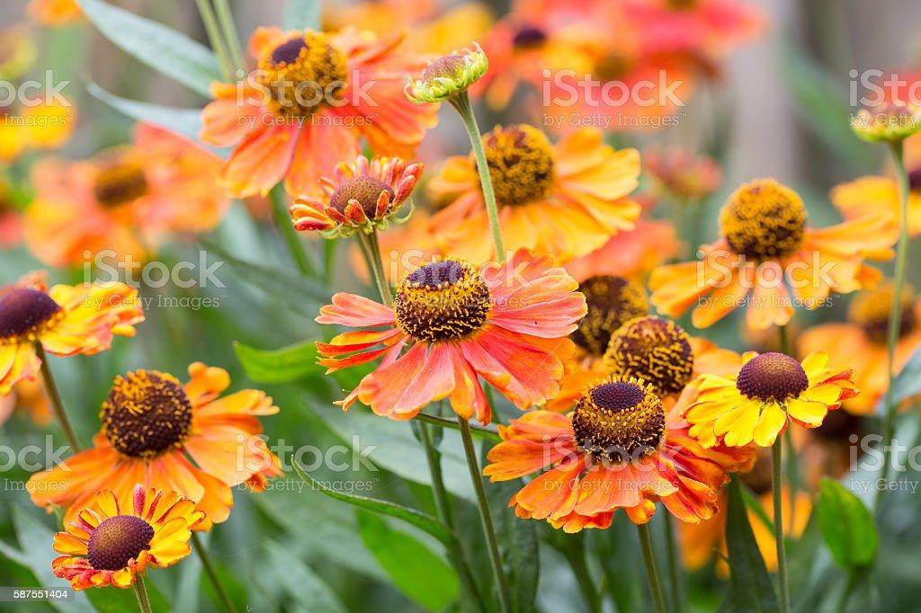Beautiful orange helenium flowers in ornamental garden stock photo