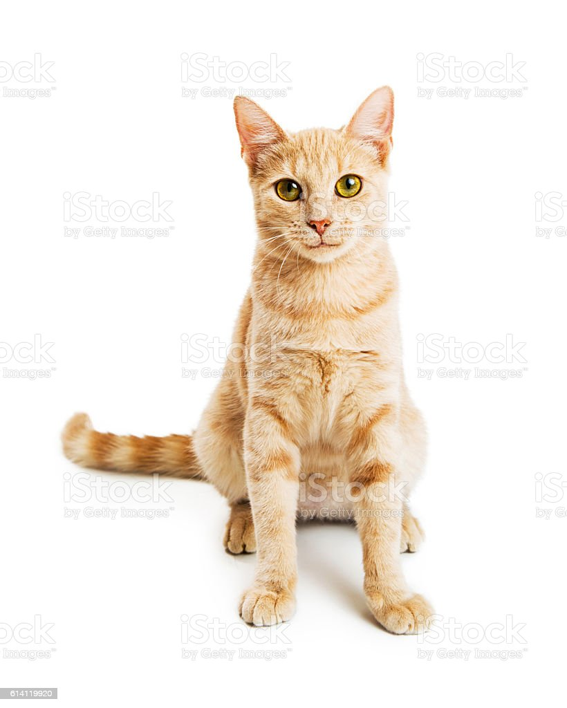 Beautiful Orange Kitty Facing Forward on White stock photo