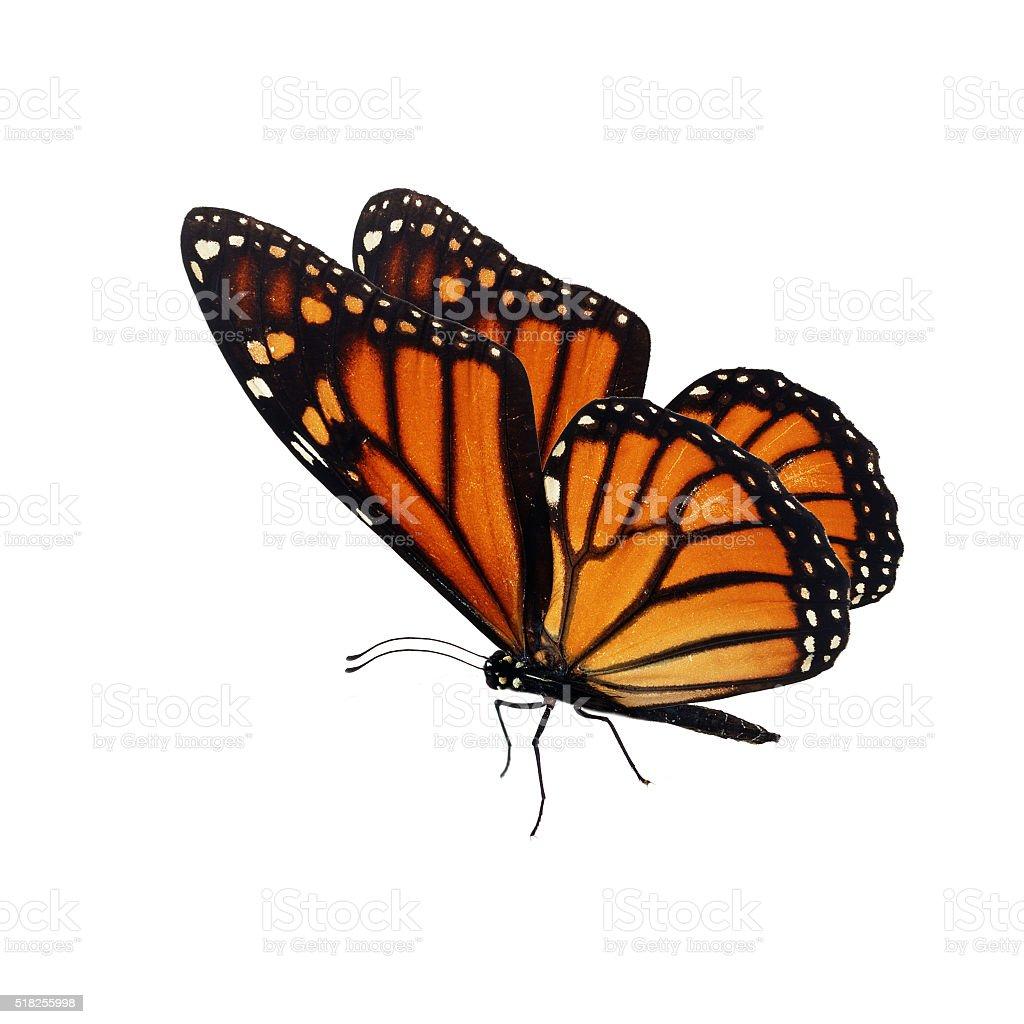 Beautiful orange monarch butterfly stock photo