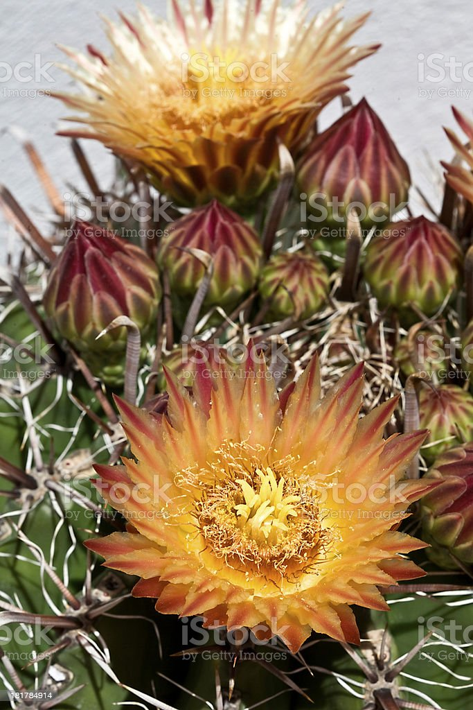 Beautiful orange red flowers on the cactus royalty-free stock photo