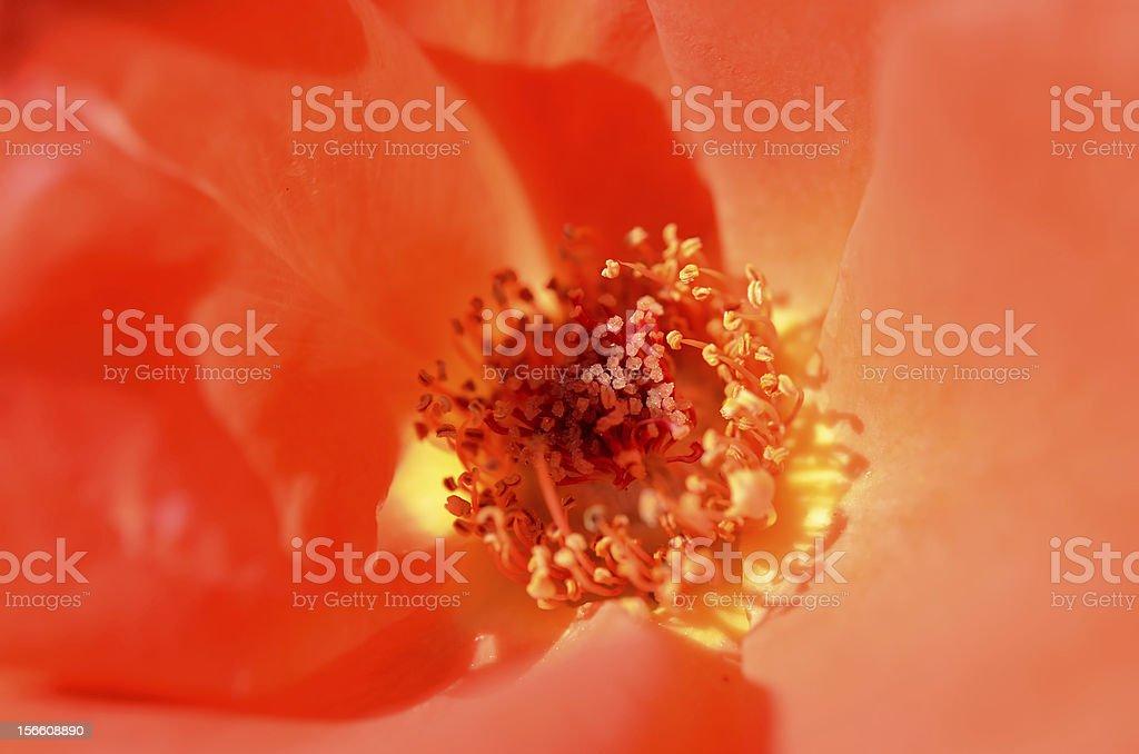 Beautiful Orange roses. (shot in close up.) royalty-free stock photo