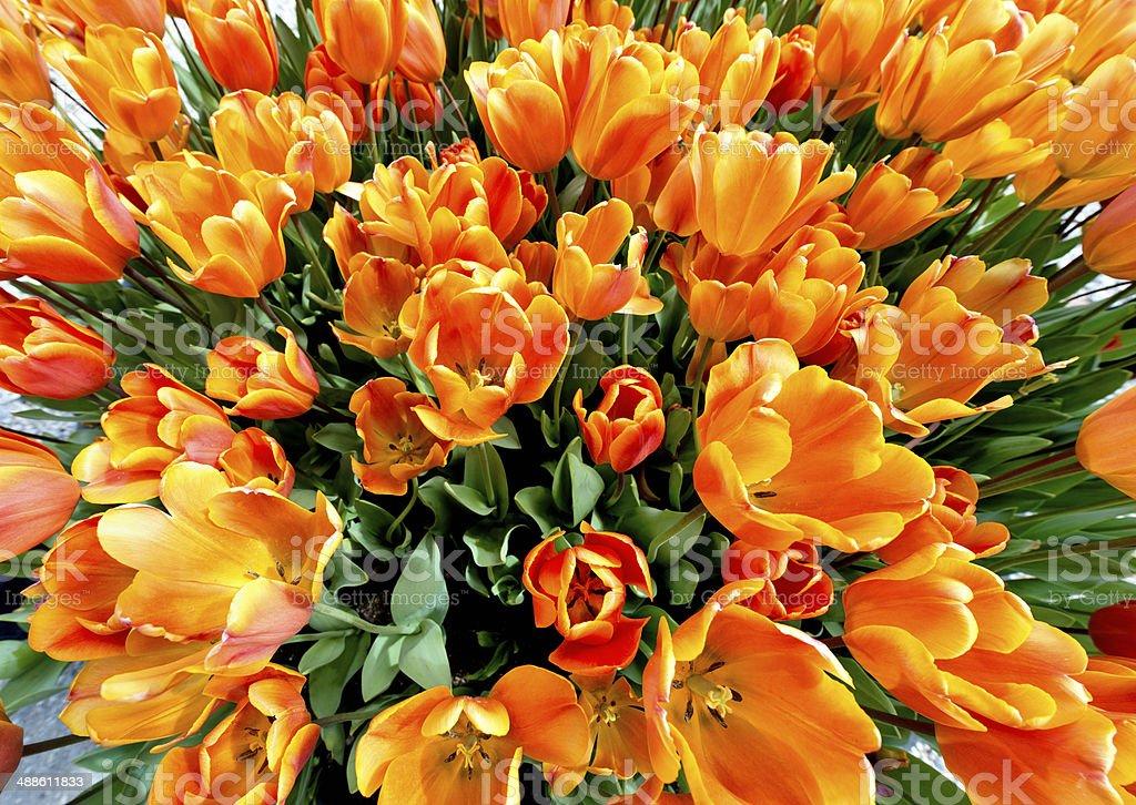 Beautiful orange tulips,senn from above stock photo
