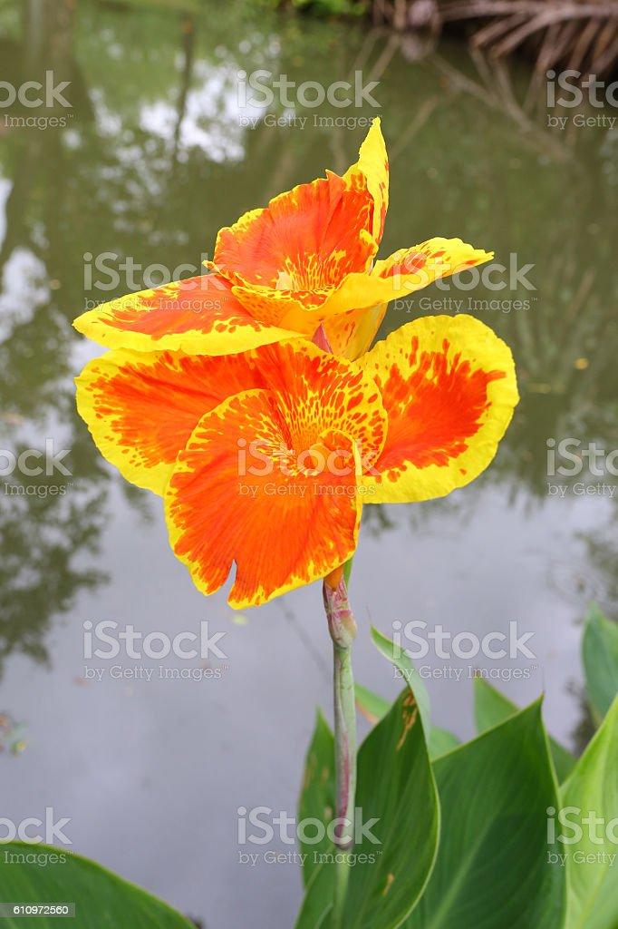 Beautiful orange Yellow canna Lily stock photo