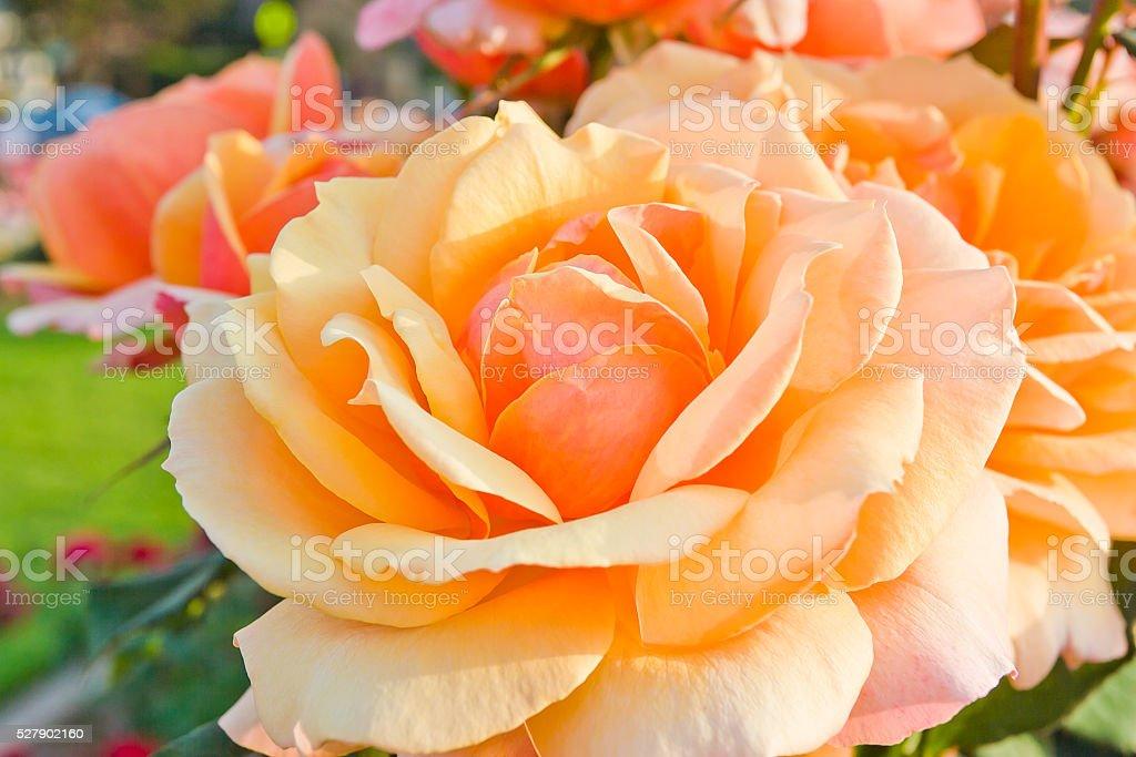 Beautiful orange yellow rose in a garden. stock photo