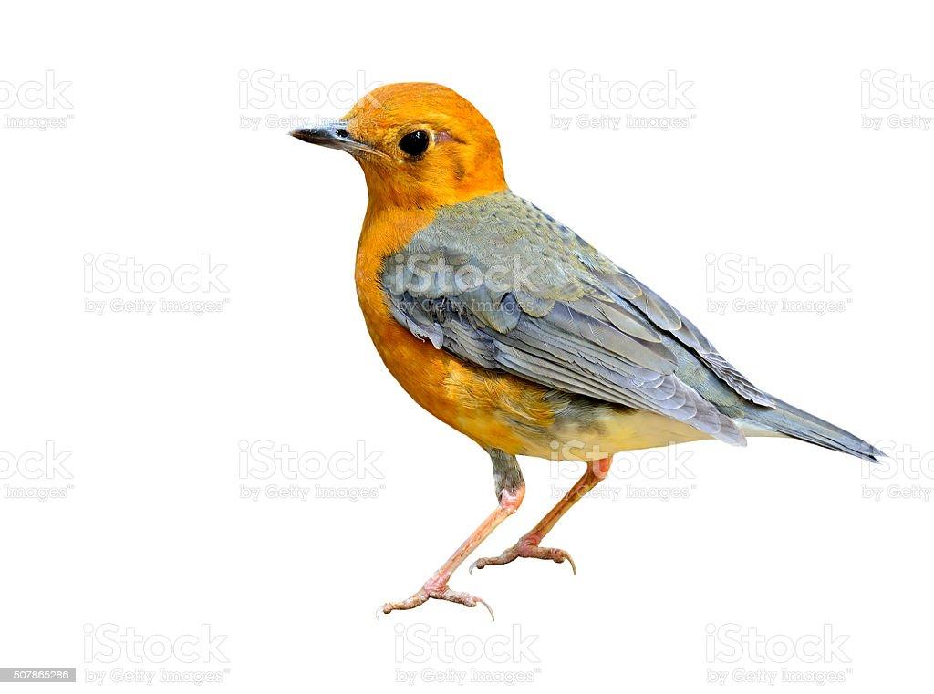 Beautiful Orange-headed thrush, a yellow and grey wings bird sta stock photo