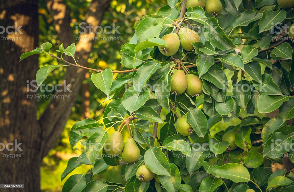 Beautiful orchard. Pear tree with juicy fruits stock photo