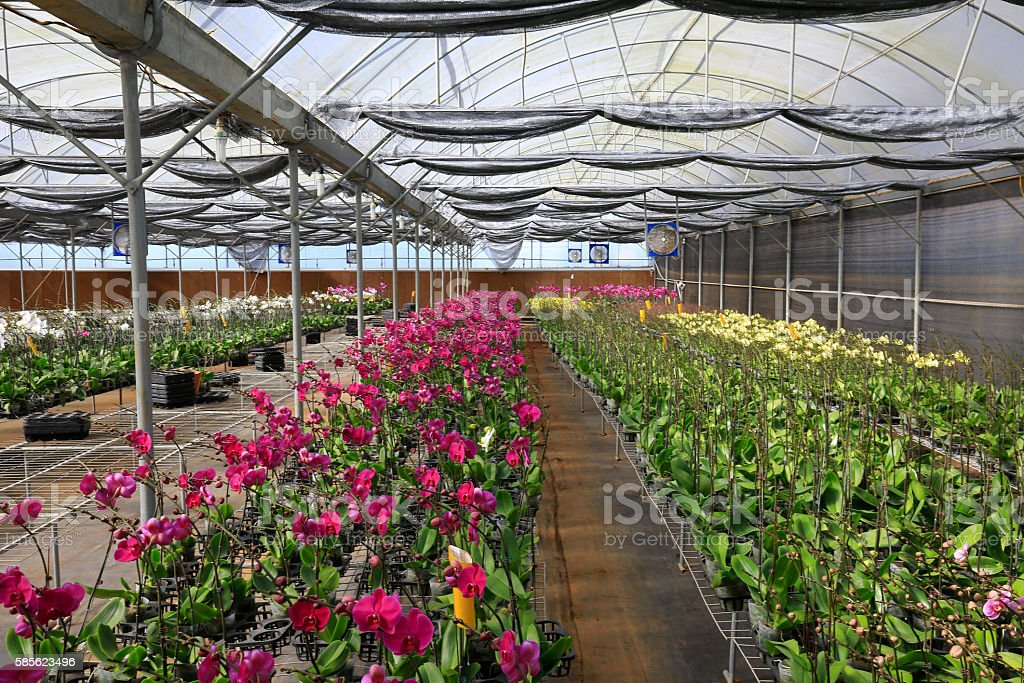 Beautiful orchid flowers in orchid farm stock photo