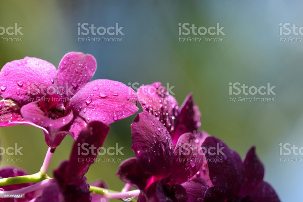 Beautiful orchid flowers with water drops close up stock photo