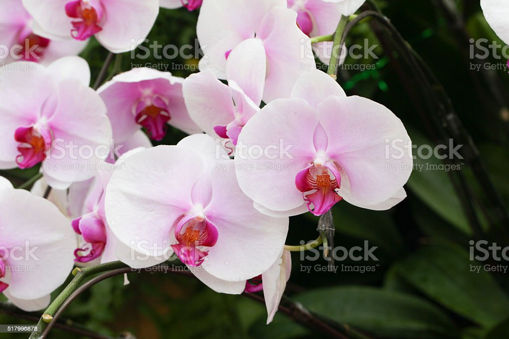 Beautiful orchid - Phalaenopsis stock photo