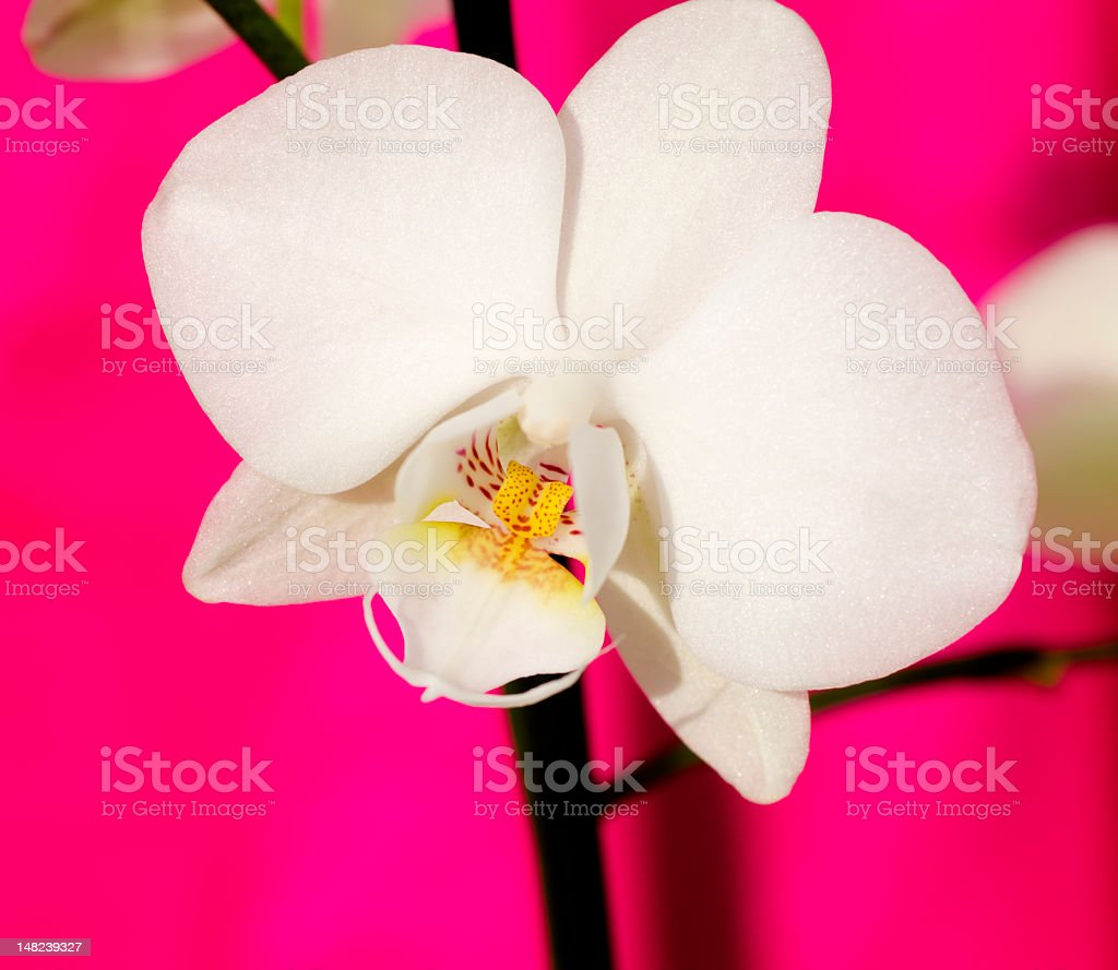 Beautiful Orchid royalty-free stock photo