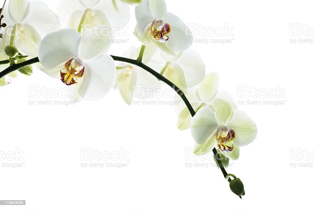 beautiful orchid twig in backlit royalty-free stock photo
