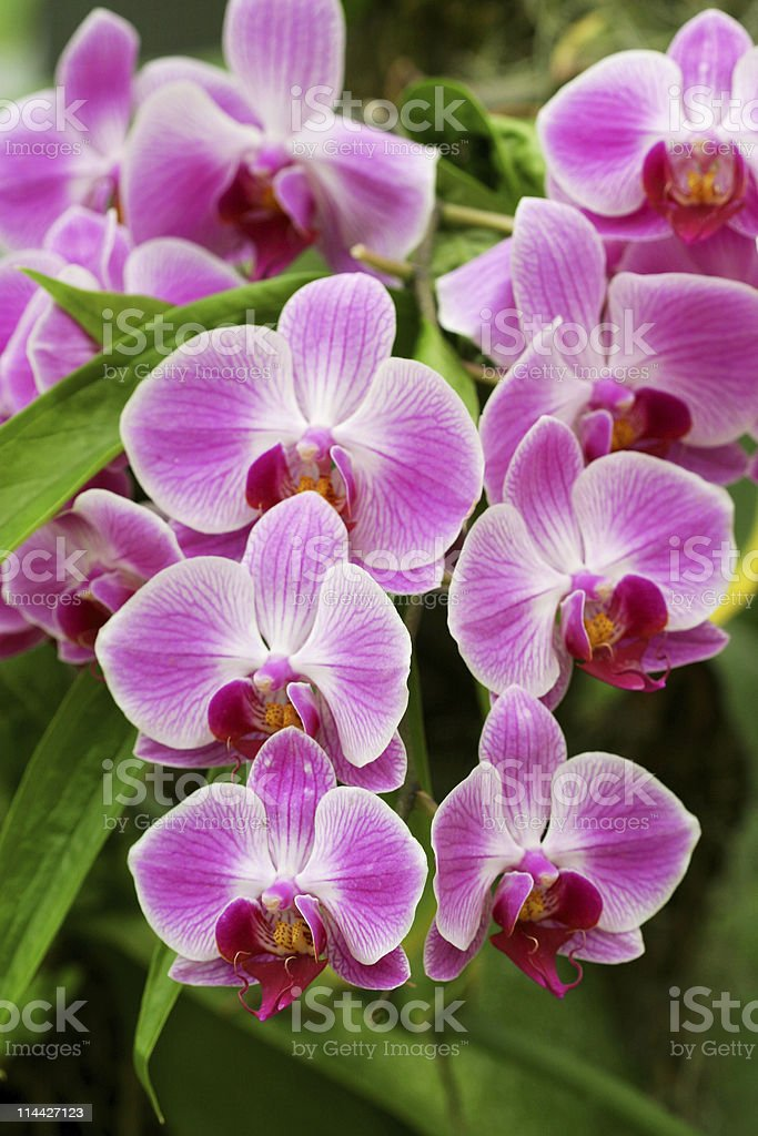 beautiful orchids royalty-free stock photo