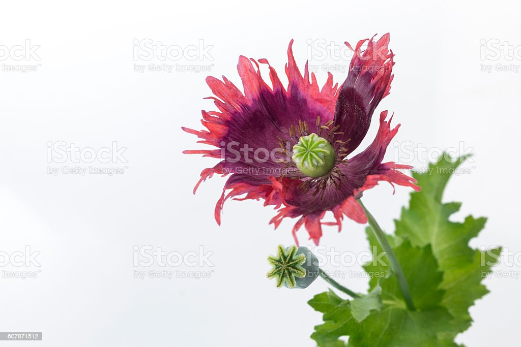 beautiful oriental papaver, with large red flowers very jagged. stock photo
