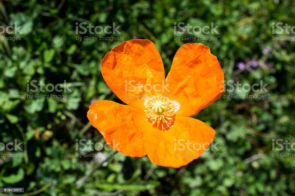 Beautiful Oriental poppy flowers in nature stock photo