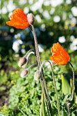 Beautiful Oriental poppy flowers in nature
