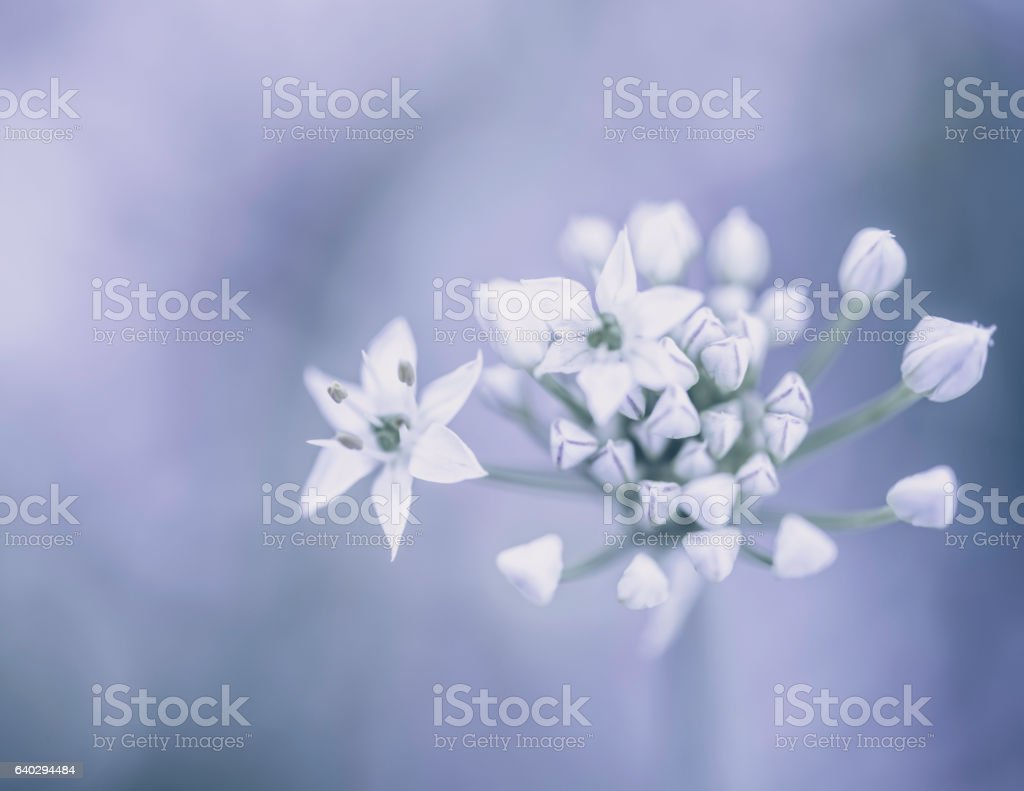 Beautiful ornamental garlic flower in bloom stock photo